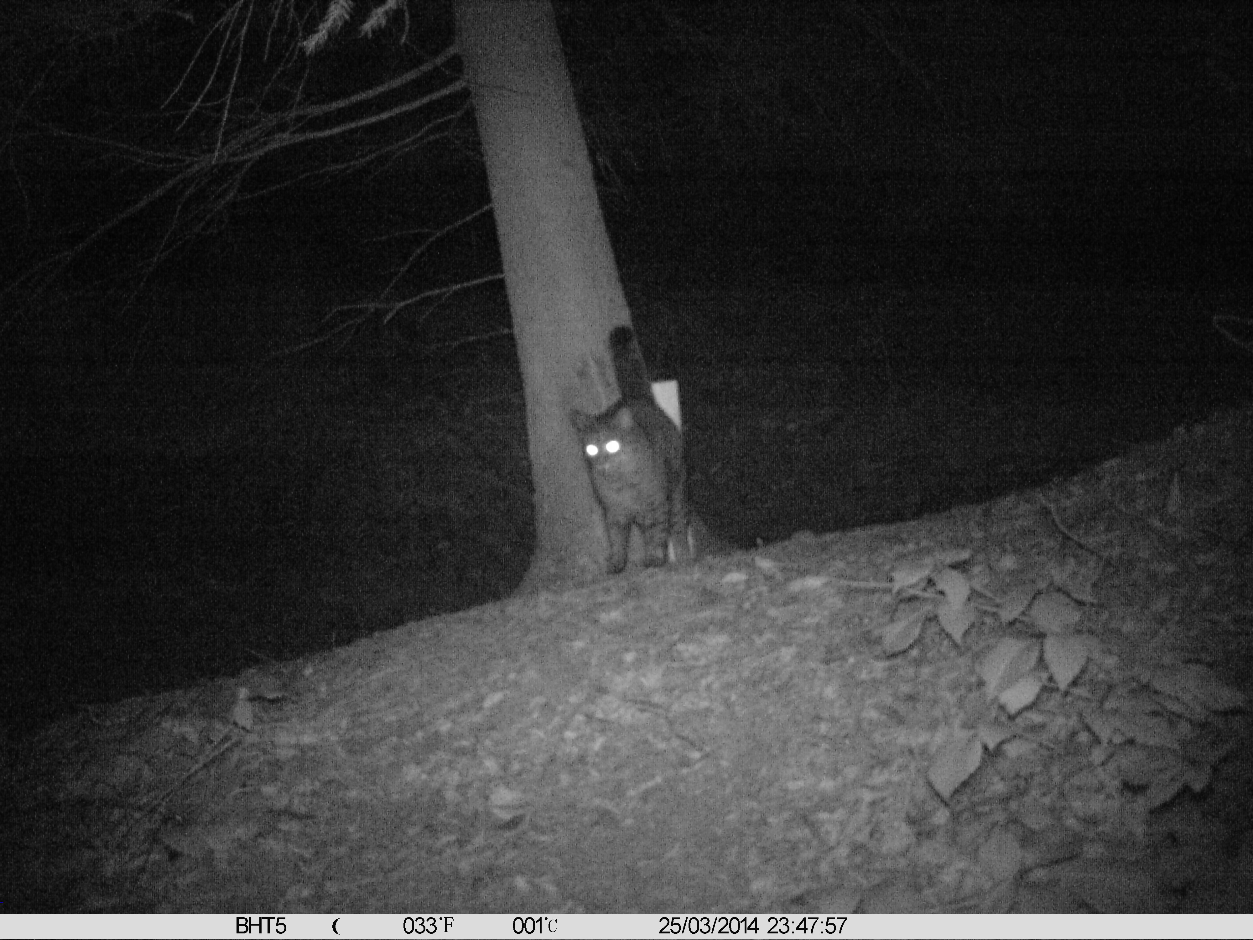 Wildkatze im Lohmarer Wald