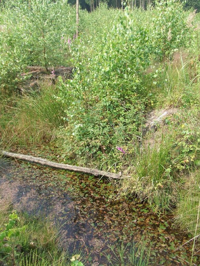 Waldentwicklung auf ehemaliger Forstfläche, die mittels Entwässerungsgraben für den Forst erst