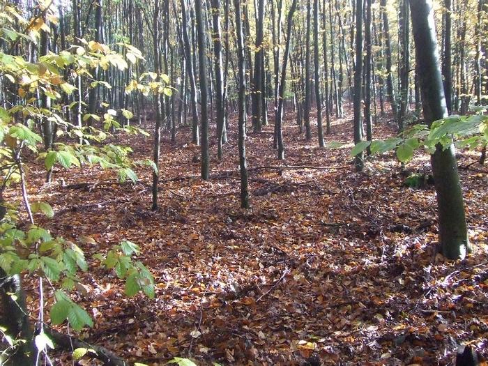 Buchenforst, hier wächst und lebt über Jahrzehnte hinaus fast nichts außer den angebauten Bäumen