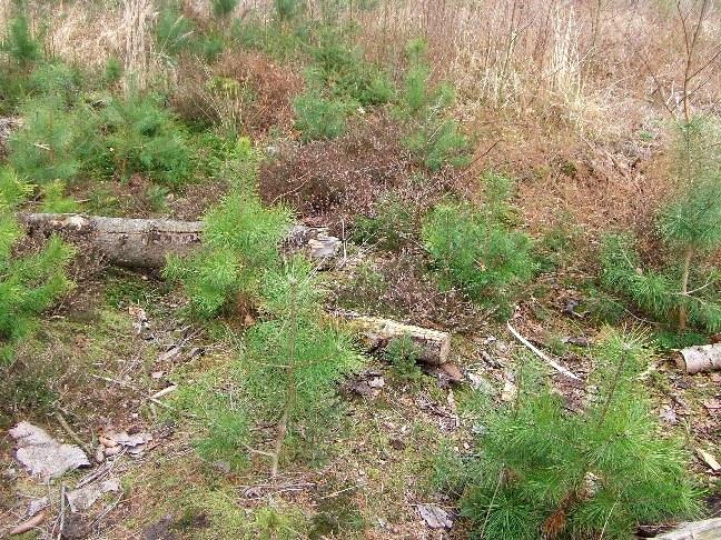 Windwurffläche: der Kiefernforst wurde aufgrund des natürlichen Sturmereignisses durch Heide abgelöst, ein Vorwaldstadium folgt