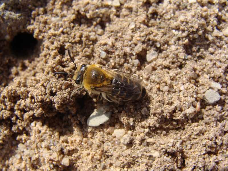 dellbrcker heide wildbienen 80 arten in der dellbr cker heide nachgewiesen. Black Bedroom Furniture Sets. Home Design Ideas