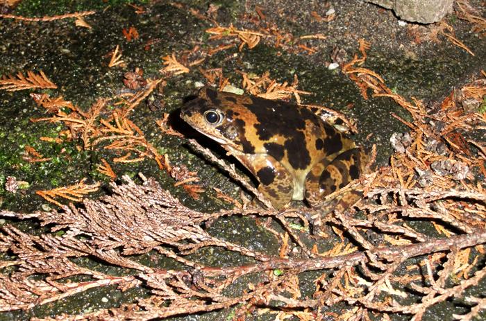 Grasfrosch, in einem Garten, Rath-Heumar