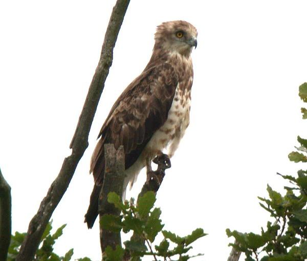 Schlangenadler im Geisterbusch, Juli 2003