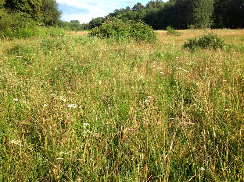 Hasbacher Wiesen, Ende Juli 2016: eine struktur- und artenreiche Vegetationsfläche