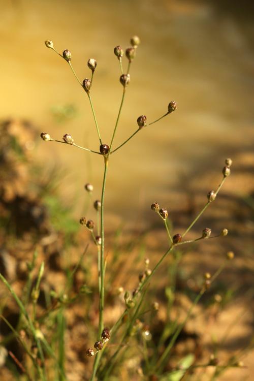 Sandbinse (Juncus tenageia)