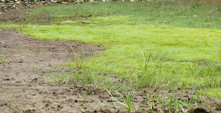 Pillenfarn auf trockenem Teichboden