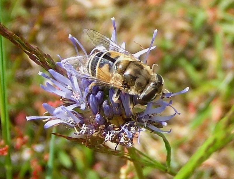 Scheinbienen-Keilfleckschwebfliege (Eristalis tenax) in der Dellbrücker Heide
