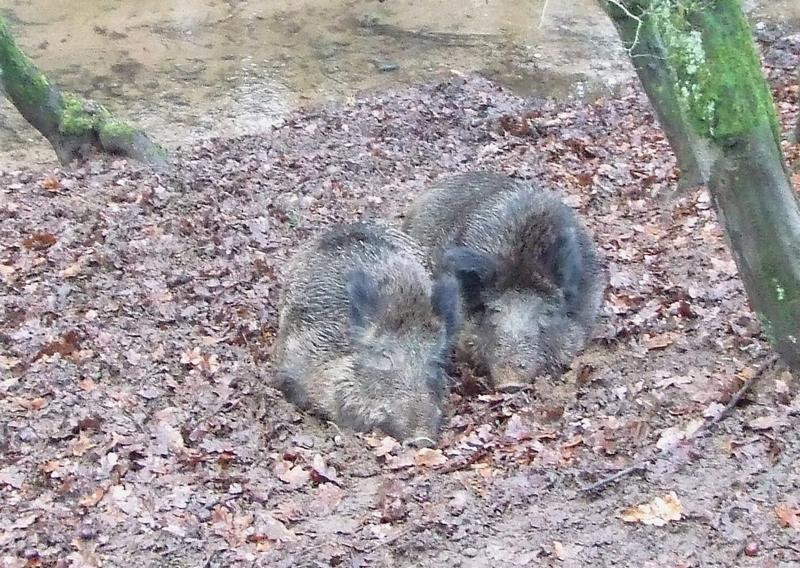 Dösende Wildschweine - Attraktion von Wildparks gerade bei Kindern. Viel interessanter aber ist ihre Beobachtung in der freien Landschaft