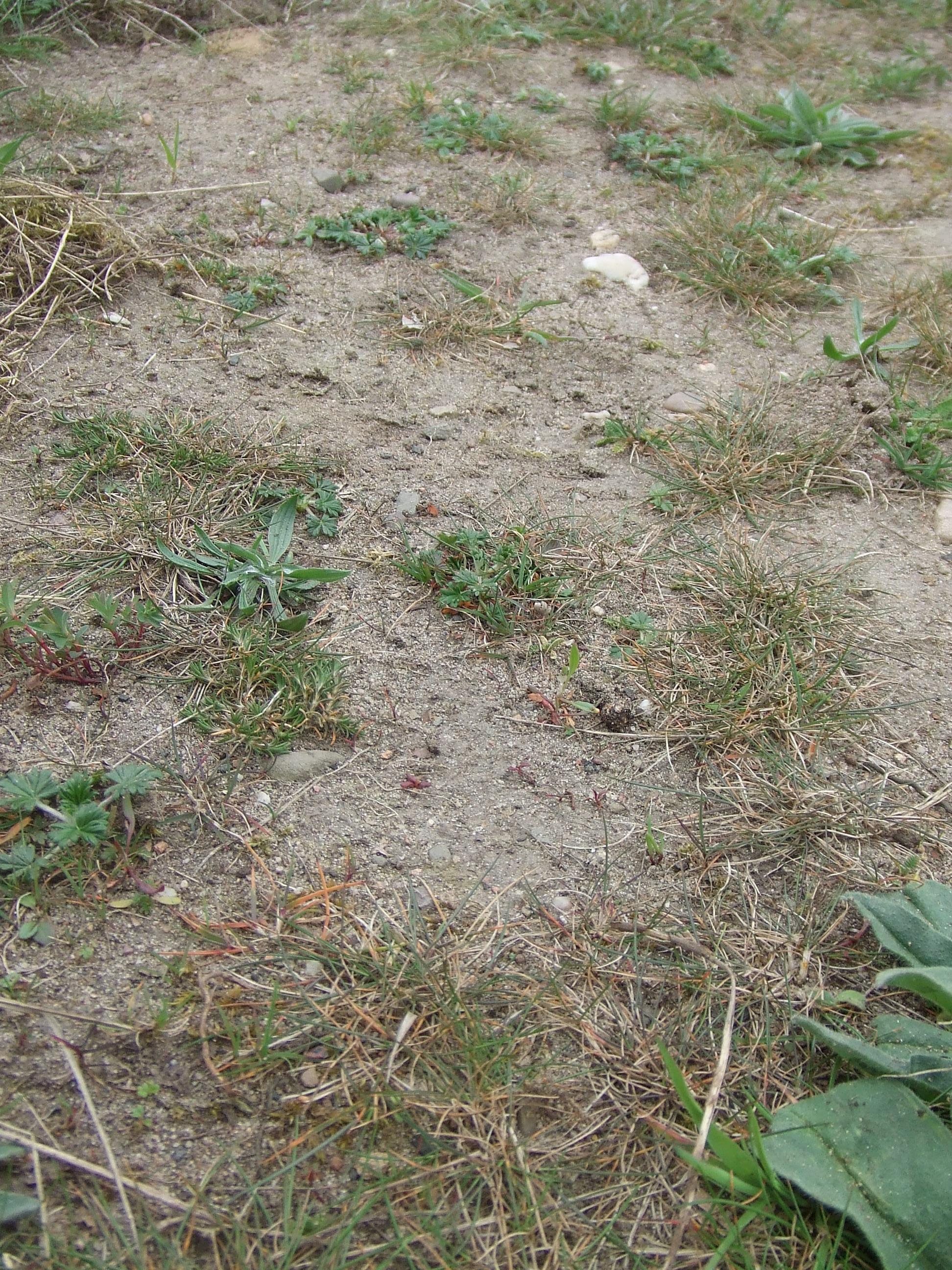 Knapp einjährige Wildschweinspur mit Silberfingerkraut, Roter Schuppenmiere, Natternkopf und Sandbienennestern