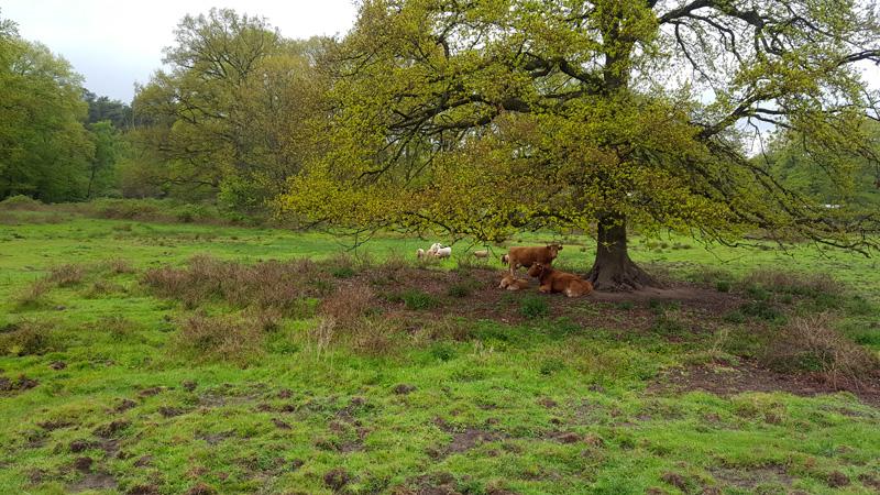 Die Weide ist eröffnet! Aber selbst Glanrinder und Ziegen schienen sich unterstellen zu wollen