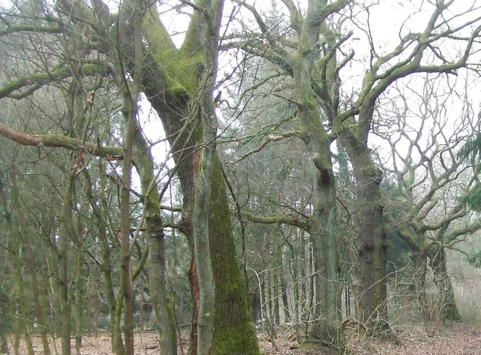 Alte Eichen im Neuenborner Busch