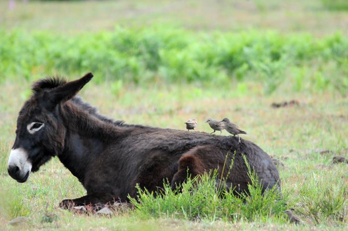 Junge Stare befreien Esel im Geisterbusch von lästigen Plagegeistern