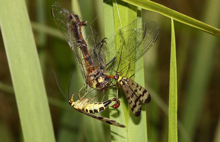 Skorpionsfliegen mit Beute