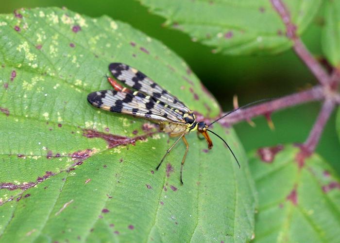 weibliche Skorpionsfliege