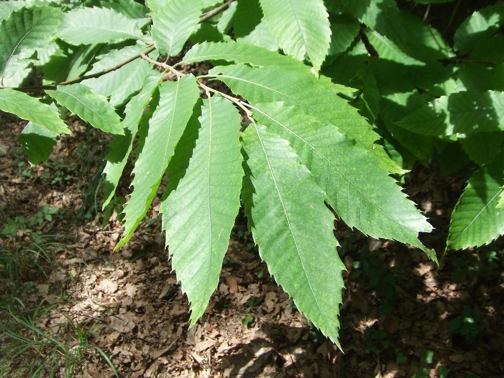 Blätter der Edelkastanie
