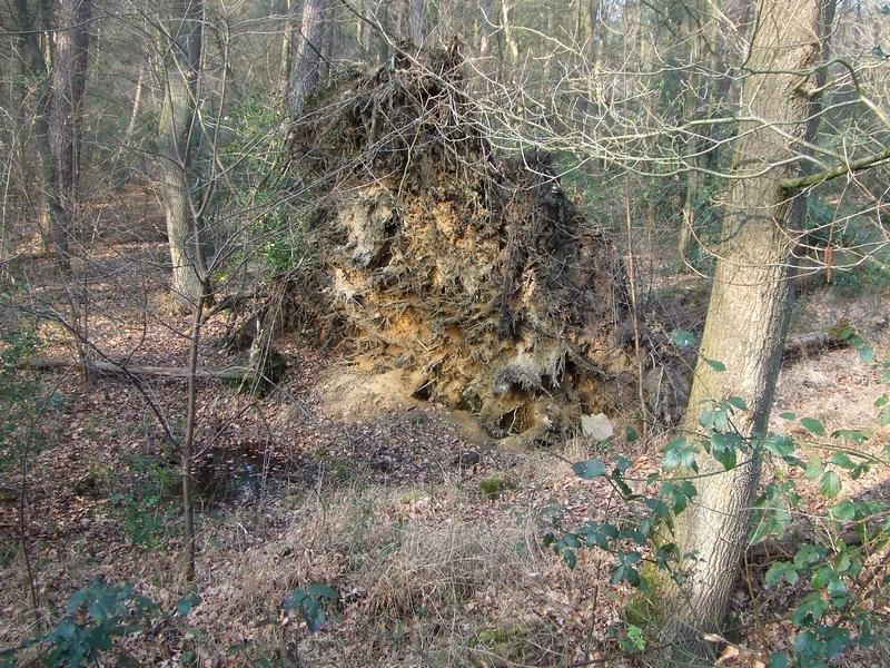 Aufgestellter Wurzelteller in der Refrather Heide: Zaunkönignest versteckt im Wurzelteller, Grasfroschlaich in der wassergefüllten Vertiefung