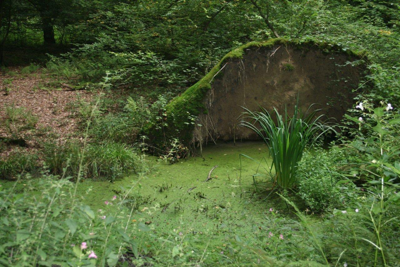 Aufgestellter Wurzelteller in der Aggeraue, Wahner Heide: Eisvogelröhre im Wurzelteller, Teichmolche in dem neu entstandenen Tümpel