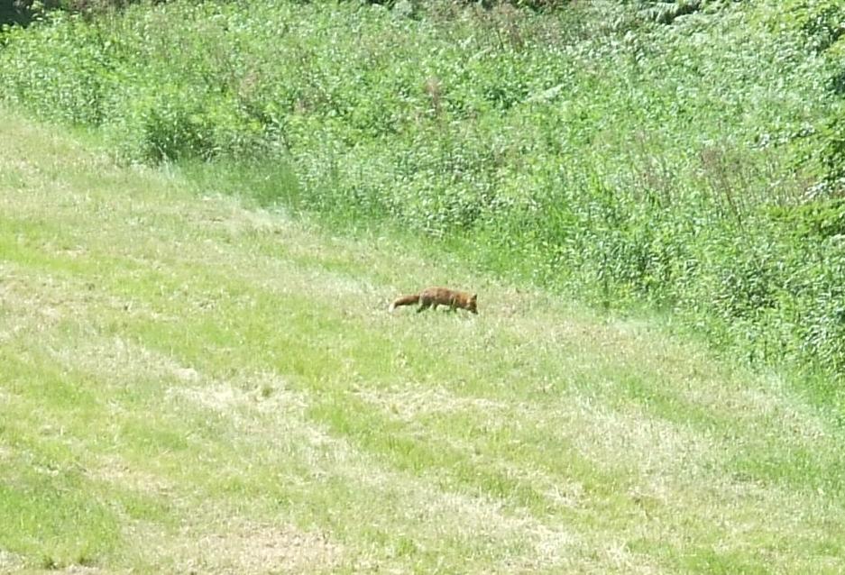 Fuchs im Königsforst
