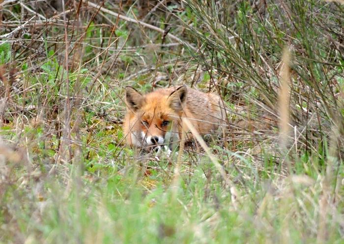 Ein Fuchs in der Wahner Heide versucht sich ruhig zu verhalten