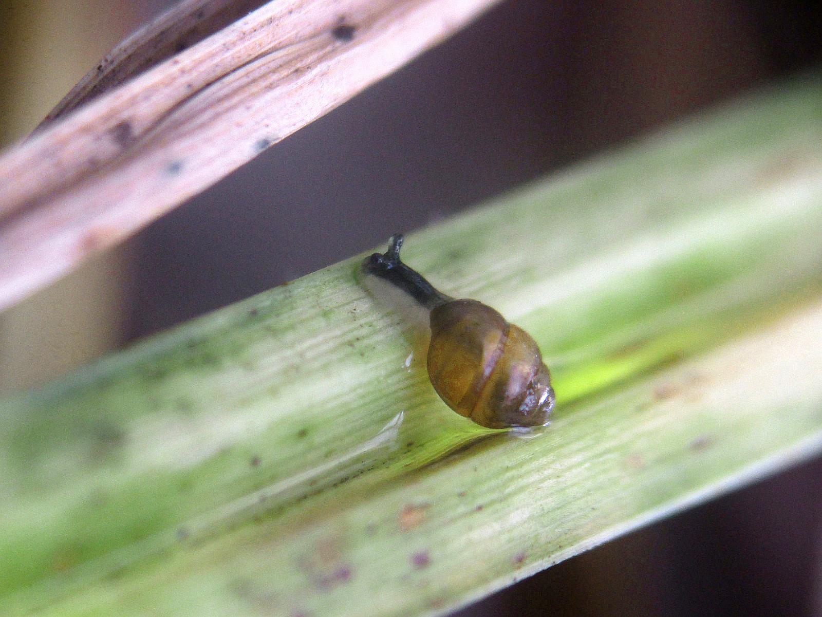 Die streng geschützte und vom Aussterben bedrohte Bauchige Windelschnecke (Vertigo moulinsiana) wurde unmittelbar am Gleiskörper entdeckt
