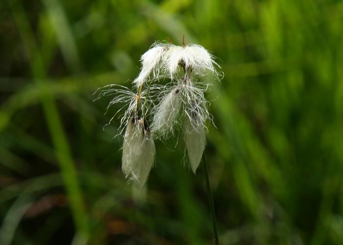 Breitblättriges Wollgras (Eriophorum latifolium)