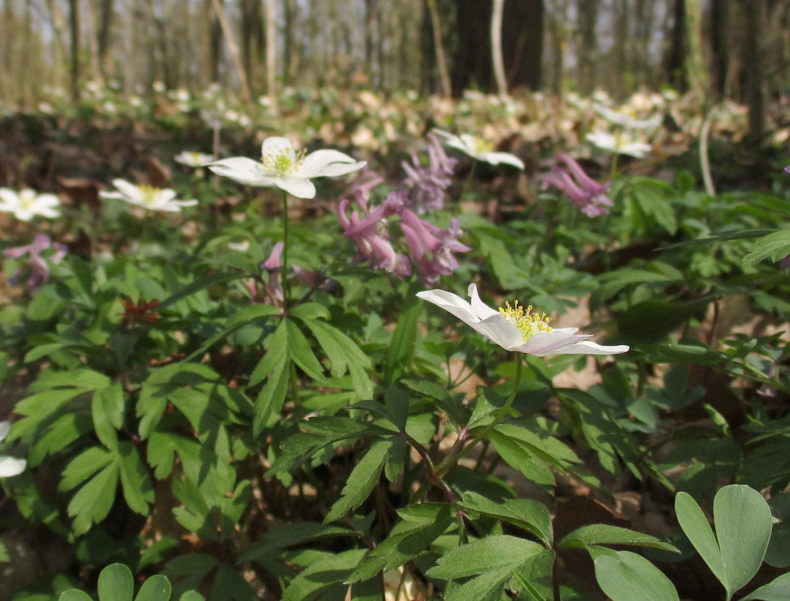 Artenreichtum von Geophyten in der Mutzbachaue