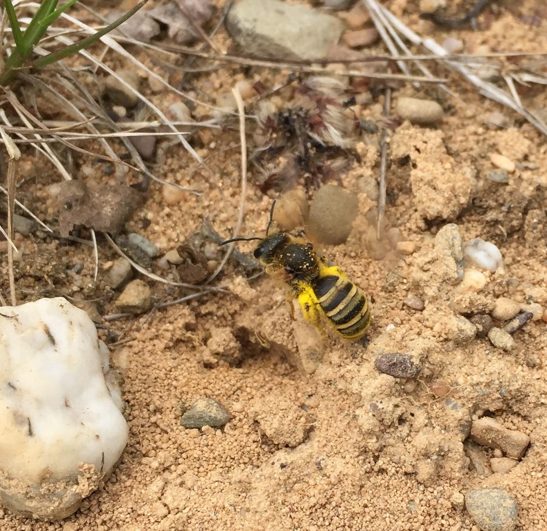 Neue Bienenart in der Dellbrücker Heide