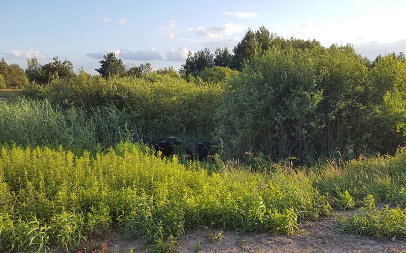 Wasserbüffel im Schilfgürtel der unteren Tongruben-Koppel
