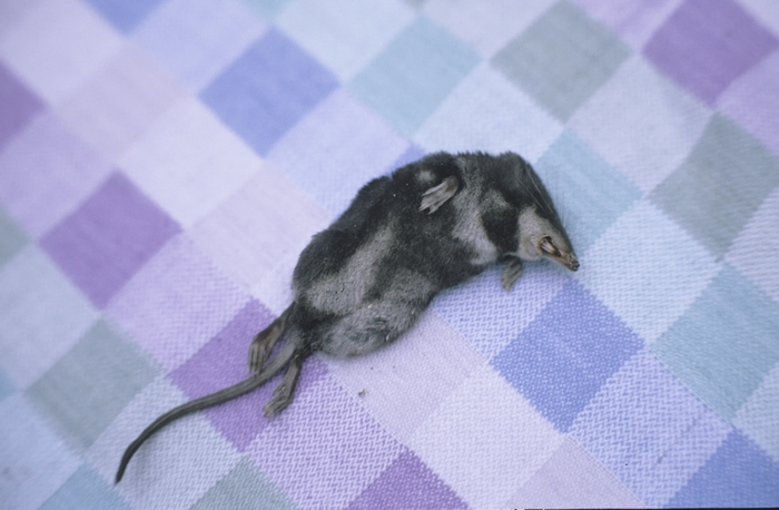 Totfund einer jungen Wasserspitzmaus aus dem Bereich Giesbach, Wahner Heide (1993)