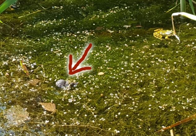 Wasserspitzmaus schwimmend am 22. Juli in der Panzerwaschanlage