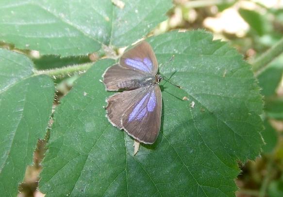 Der Blaue Eichenzipfelfalter in der Dellbrücker Heide