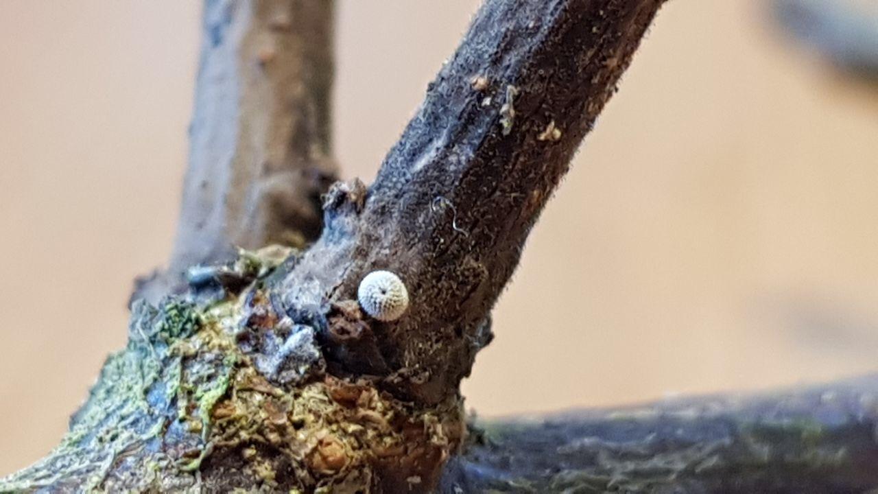 Ei des Blauen Eichenzipfelfalters