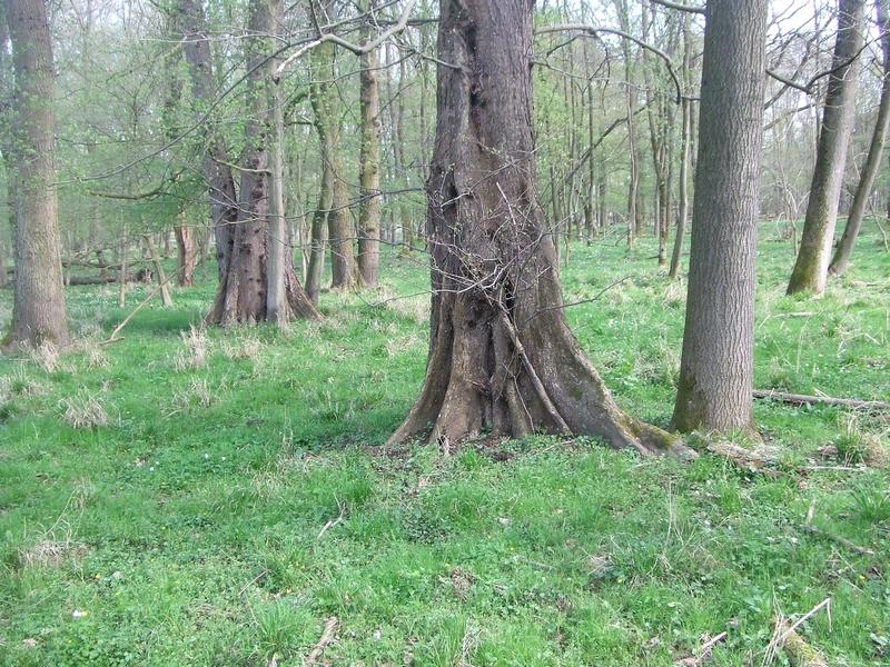 Stieleichen-Ulmenwald in der Wahner Heide