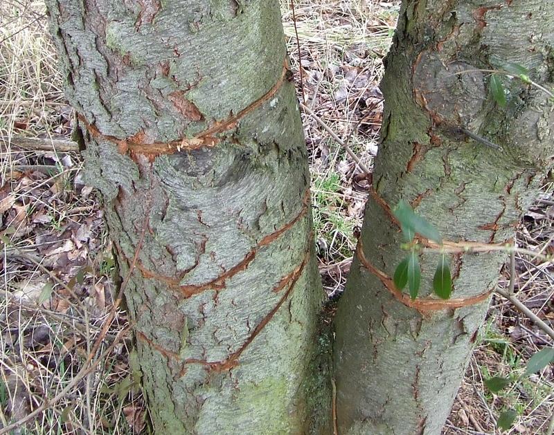 Doppel- und Dreifachringelung bei Spätblühender Traubenkirsche