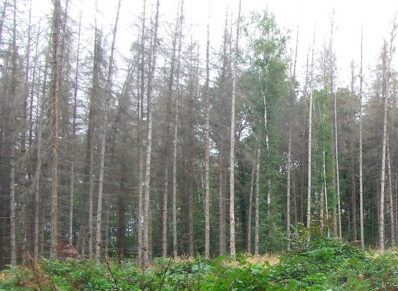 Abgestorener Fichtenforst, Chance für naturnahen Wald