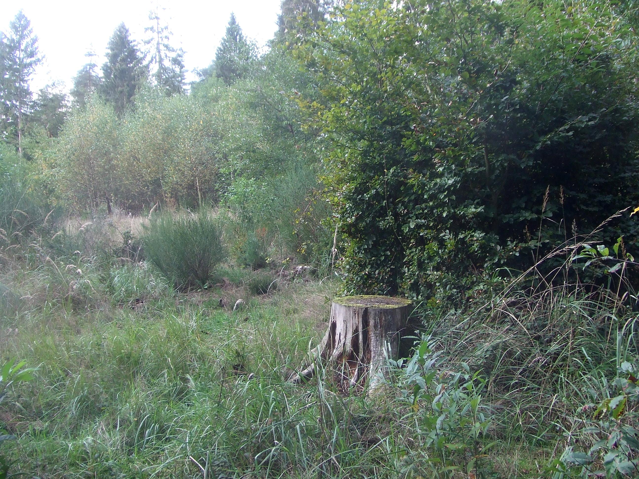 Truppweise Anpflanzung von Buche unter dem Schirm der geschädigten Fichten, dazwischen verschiedene natürliche Sukzessionsstadien der Waldentwicklung