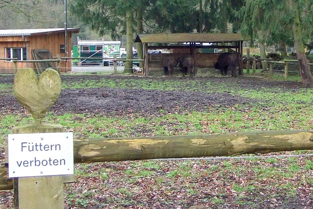 Wisente fristen bisher v.a. in Zoos und Wildparks ein nicht artgerechtes Dasein