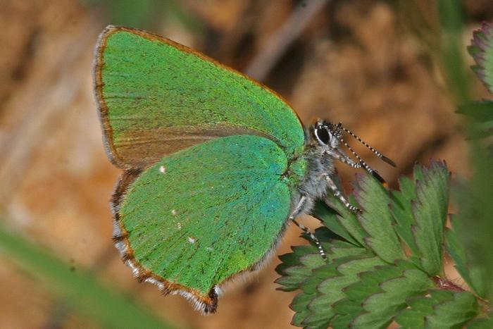 Grüner Zipfelfalter Schmetterling des Jahres 2020