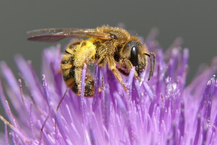 Bienenstöcke stellen Gefahr für Wildbienen dar