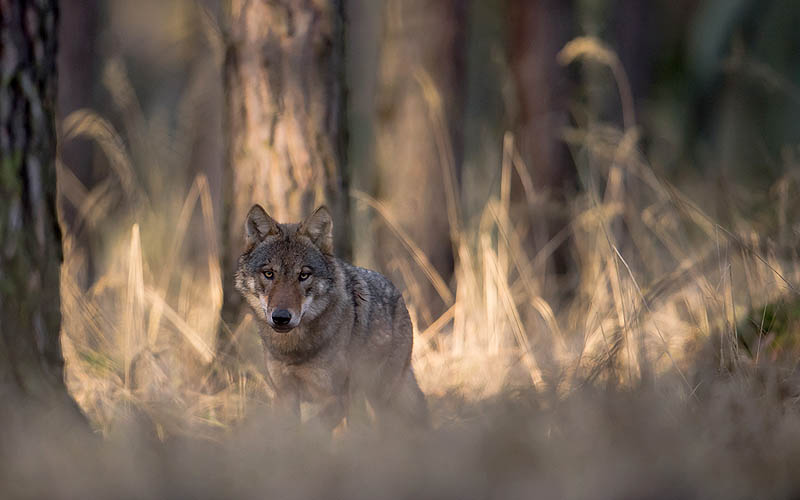 Ein Wolf | Symbolbild