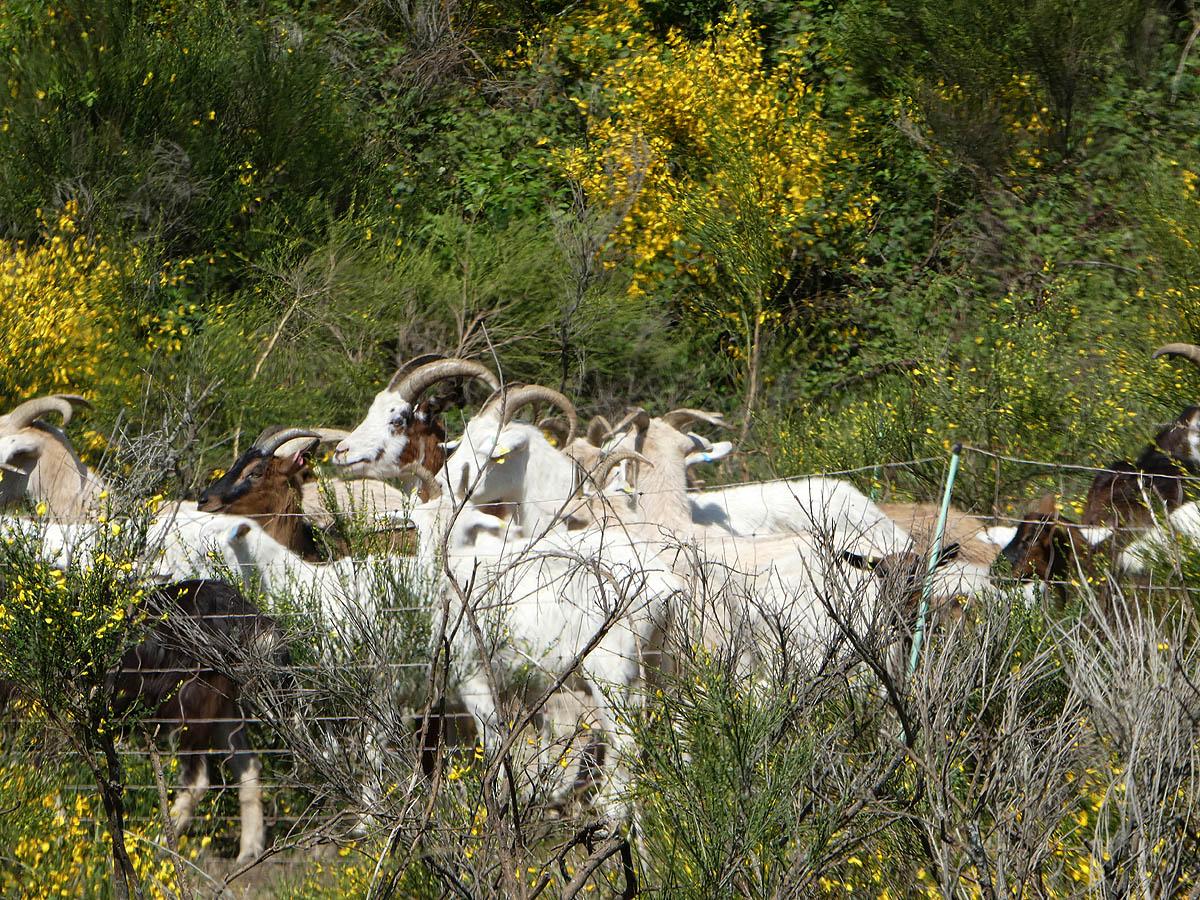 Ziegen halten die Heide offen