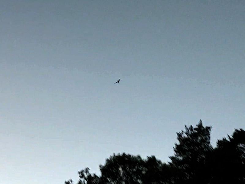 Eine Fledermaus, über der Koppel gegenüber vom Turmhof: Aber welche?