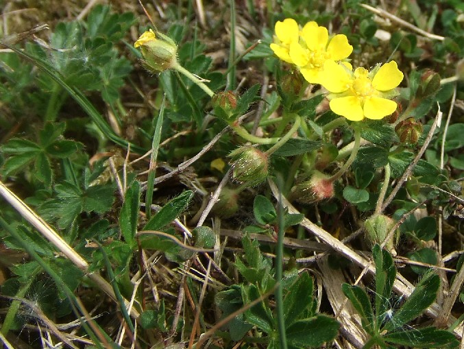 Frühlings-Fingerkraut blüht im November