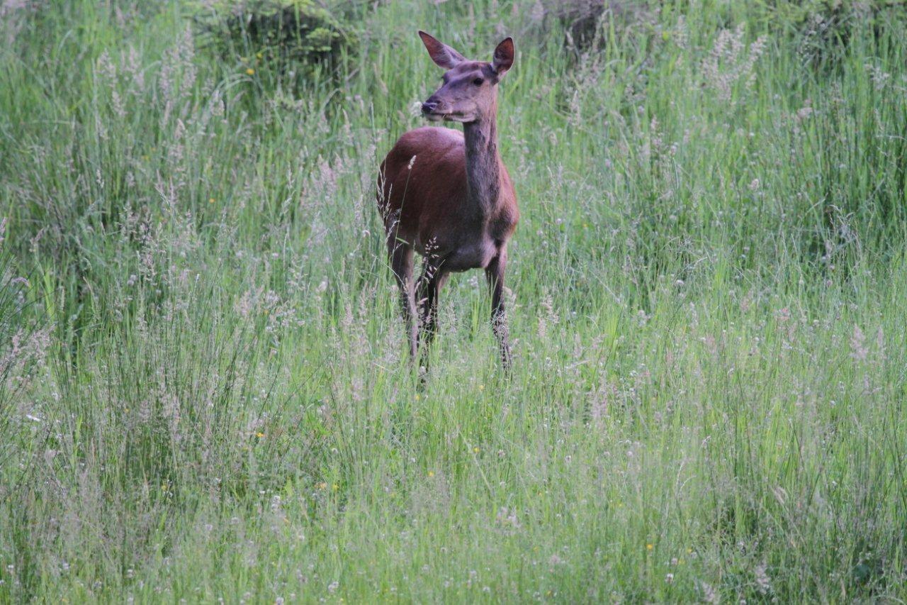 Rothirsche fressen als ursprüngliche Offenlandbewohner am liebsten tagsüber Gräser und Kräuter - wenn Jäger sie lassen