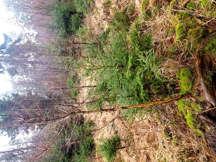 Huftiere fressen oder fegen seit jeher junge Bäume und schaffen dabei Vielfalt, haben dadurch heute in Holzproduzenten erbitterte Konkurrenten