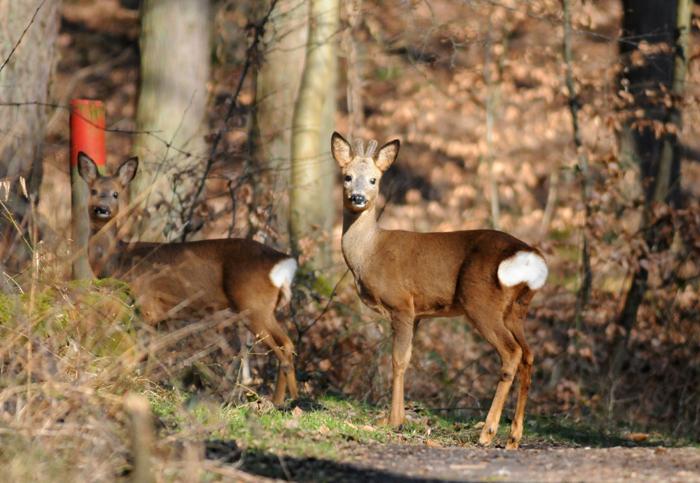 Rehe werden auch durch Wanderer in die Flucht geschlagen, weil Jäger sie scheu machen