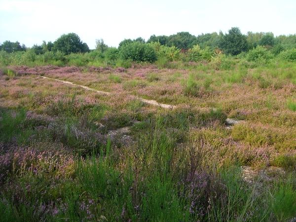 Dreitausend Quadratmeter Heide wiederhergestellt