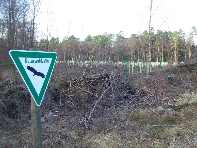 Aufforstung verhindert Waldentwicklung sogar in der Naturwaldzelle des Naturschutzgebiets Königsforst