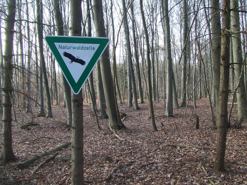 Etwa 30 Jahre alte Buchenplantage: mit Naturwald hat das nichts zu tun, die Artenarmut ist sichtbar