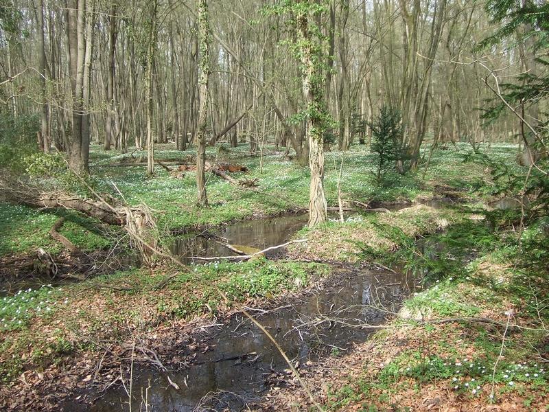 Der Eichen-Hainbuchenwald der Kemperbachsümpfe, ein FFH-Lebensraumtyp, würde erheblich verkleinert und beeinträchtigt werden